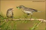 Pine warbler feeding fledgling by gregster09