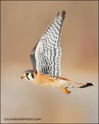 American Kestrel in flight by gregster09
