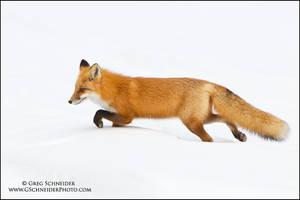 Red Fox stalking prey by gregster09