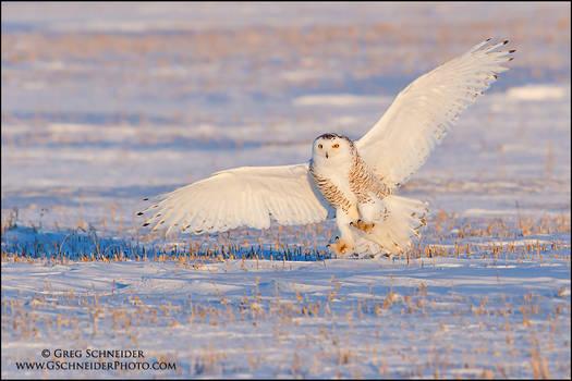 Snowy Owl landing at sunset