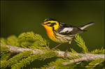 Blackburnian Warbler - the firebreather