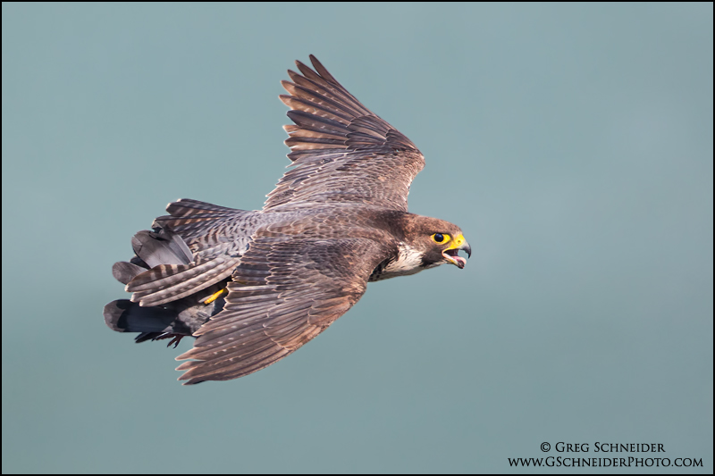 Peregrine Falcon with pigeon by gregster09