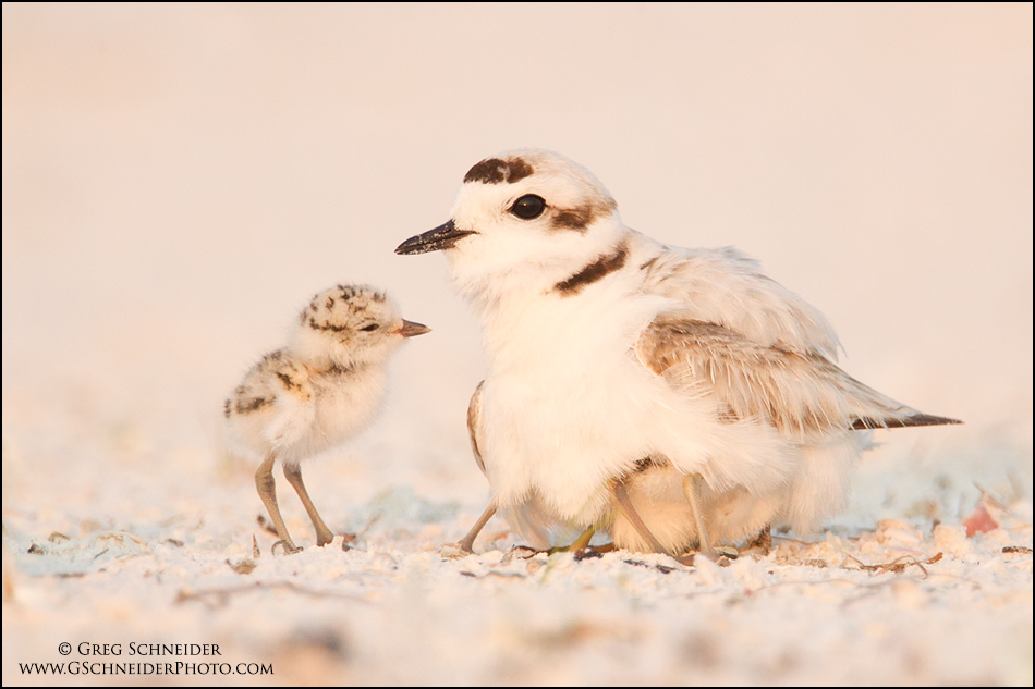 Snowy Plover with chicks by gregster09