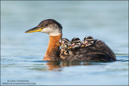 Red-necked Grebe water taxi