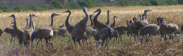 Sandhill Cranes by YoAkMama