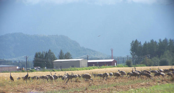Cranes in a field by YoAkMama