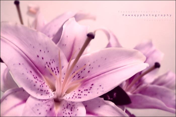Purple by fawaqi