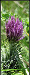 Caudwell Thistle by keot