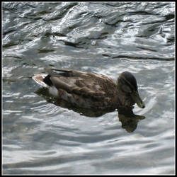 Ashford-in-the-Water Duck II