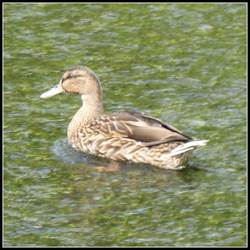 Ashford-in-the-Water Duck I