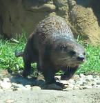 Otter stock