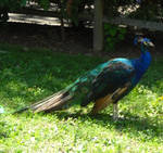 Peacock stock