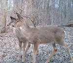Deer stock