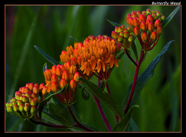 Butterfly Weed by boron