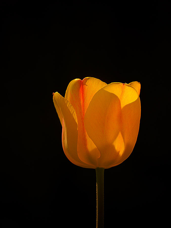 Yellow Tulip and the Morning Sun