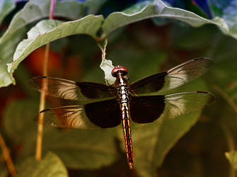 Dragonfly13 by boron