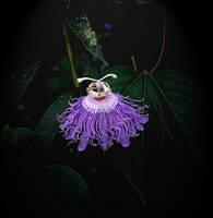 Purplepassionflower13