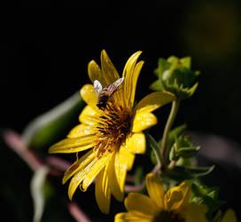 Hoveronaflower.jpg
