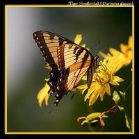 Tiger Swallowtail Backlit by boron