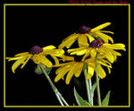 Black-eyed Susan and the Lady