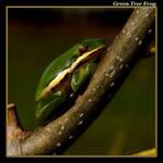Green Tree Frog 06