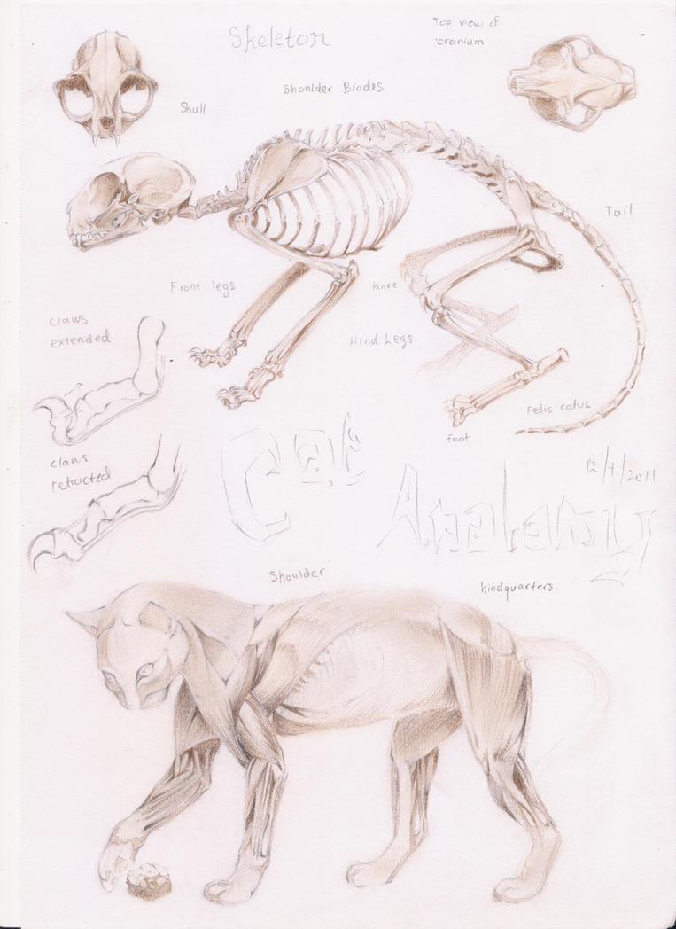 cat anatomy by emeraudolupus on DeviantArt