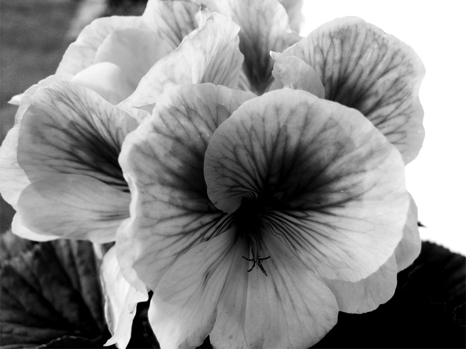 Black and white pansies by jas0ncola on deviantart black and white pansies by jas0ncola mightylinksfo