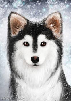 Finnish lapphund and snow