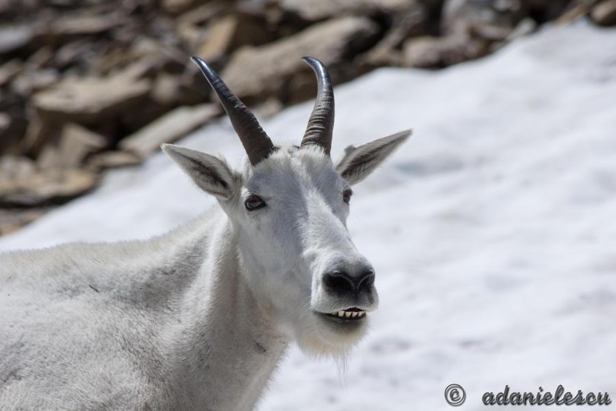 Portrait of a Mountain Goat by adanielescu