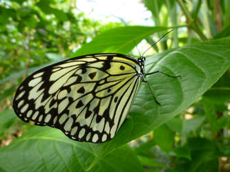 Lace Wings by john-york