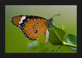 Butterfly by waleed-DP