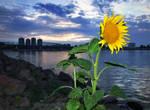 Danube sunflower