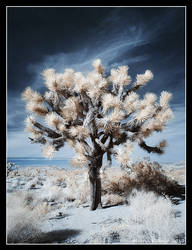 Joshua Tree - Infrared