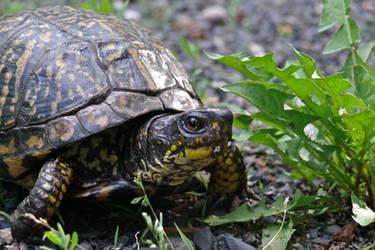 Grumpy Turtle by ixbalam