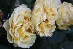 Cream Yellow Roses