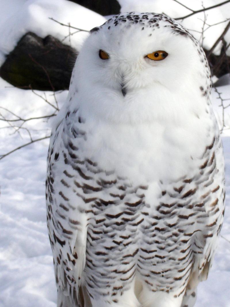 snow owl by kokotweety