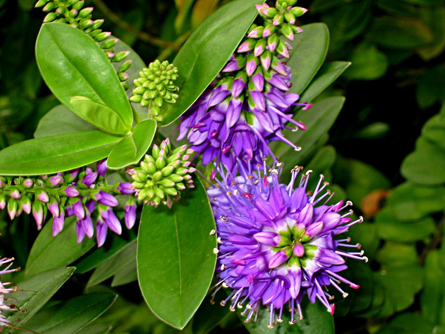 Purple Peruvian Flower, Miraflores by ddoss