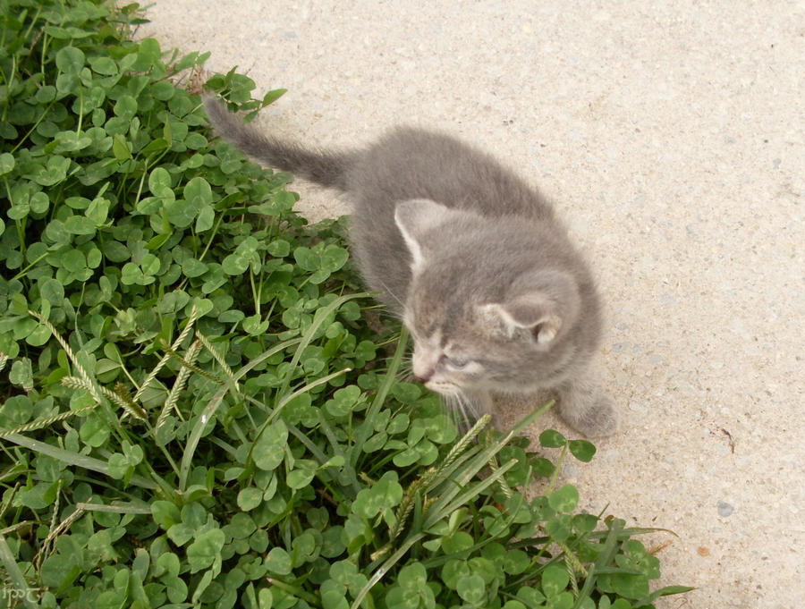 Kitten and Clover by Indiliel