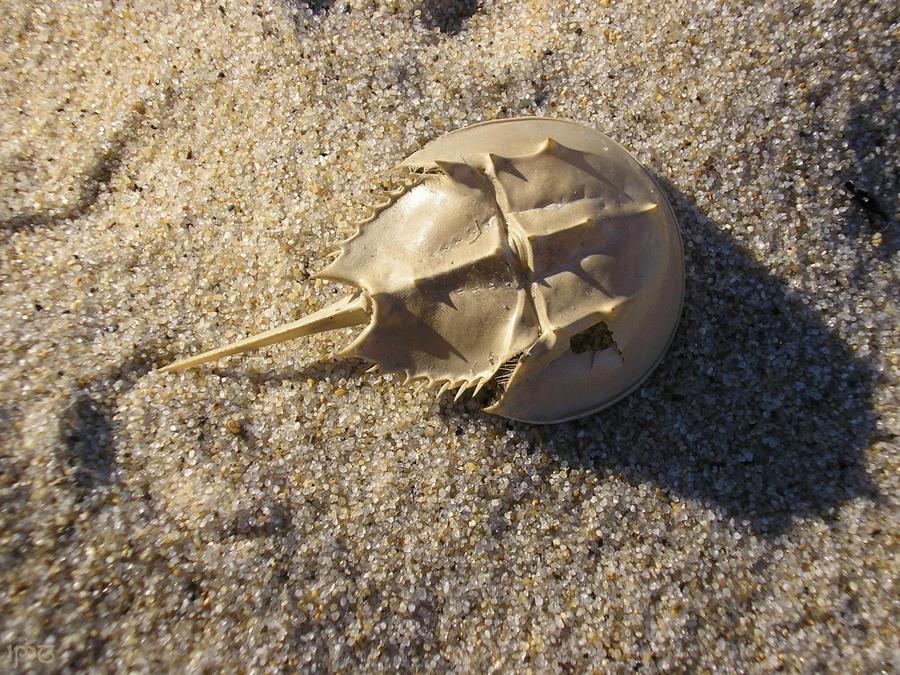 Horseshoe Crab Attack Horseshoe Crab Exuvia by