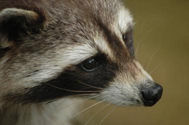 Raccoon by Freekimonki