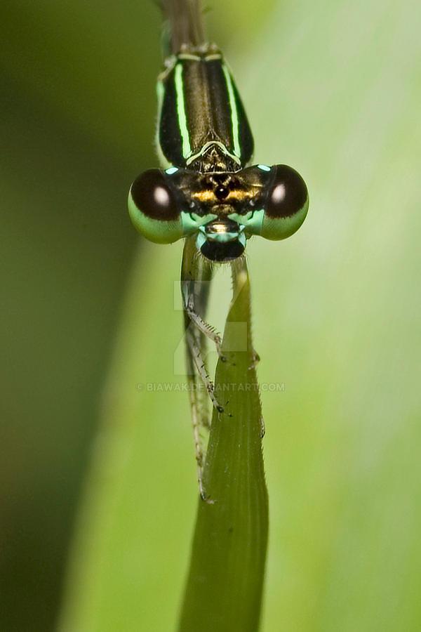 Green Damsel by biawak