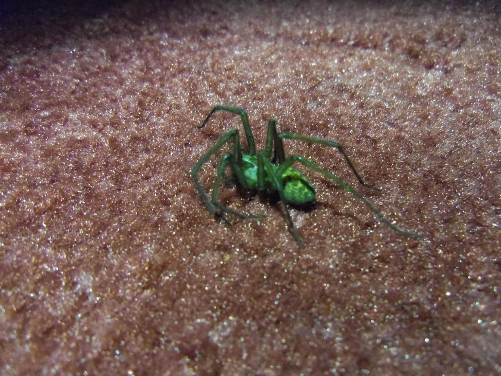 green-spider-mum