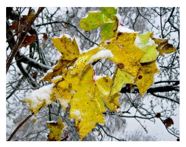 Frozen leaf by Melvisa