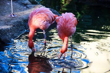 Flamingo in Water by firecloak