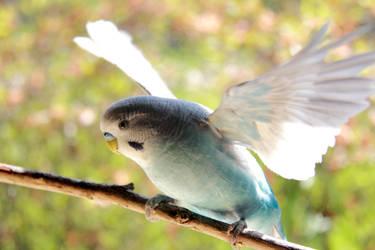 Parakeet Flapping by firecloak