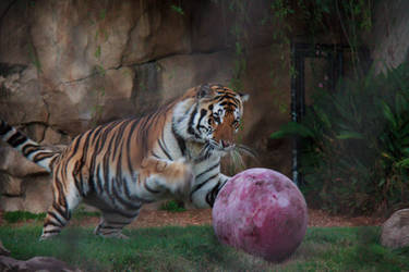 LSU Tiger Mike VI Playing with Ball by firecloak