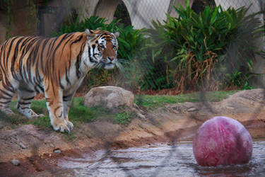 LSU Mike VI Lost the Ball by firecloak