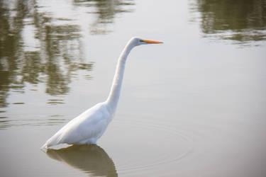 Great Egret by firecloak