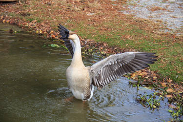 Goose Flapping Wings [Wing stock] by firecloak