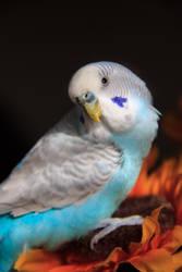 Parakeet Portrait: Curious by firecloak